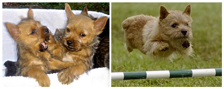 8-8-2012 Norwich Terrier for Sale - Norwich Terrier Breeder - Dog Breeders