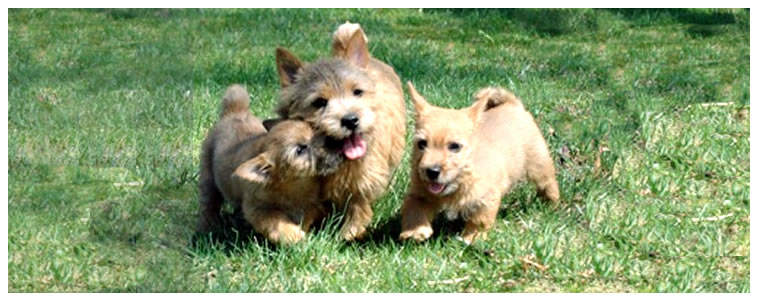 8-8-2012 Norwich Terrier Puppy Pictures