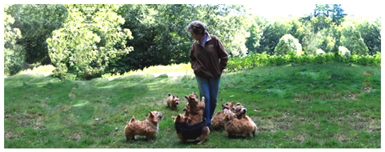 Norwich Terrier Puppies for Sale - Buy Norwich Terrier - Boston Terrier Puppies