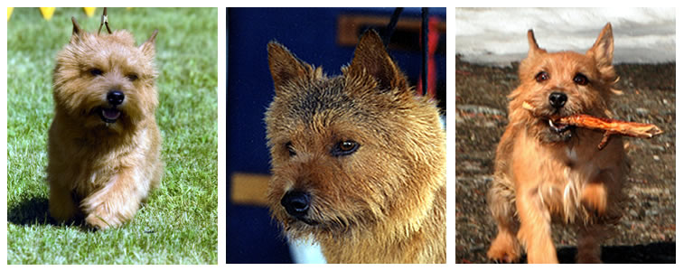Norwich Terrier Breeders
